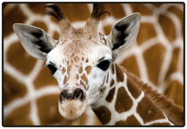 Schreibunterlage Mini 500 x 340 mm Giraffenbaby Schreibtischunterlage