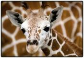 Schreibunterlage Mini 500 x 340 mm Giraffenbaby...