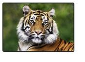 Schreibunterlage Mini 500 x 340 mm Poster Pad - Tiger